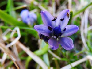 flower, Tiree