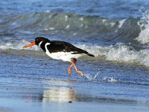 oystercatcher, Tiree