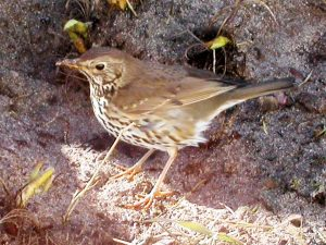 thrush, Tiree