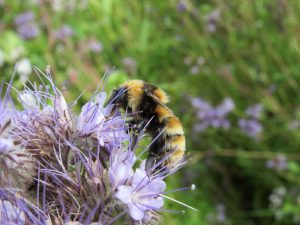 Great yellow bumblebee, Tiree