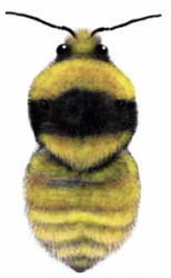 GYBB queen illustration, courtesy of the Bumblebee Conservation Trust