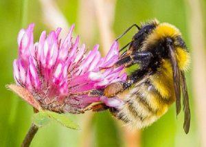 Great yellow bumblebee, Tiree