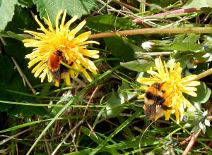 Moss carder bee and Great yellow bumblebee, Tiree