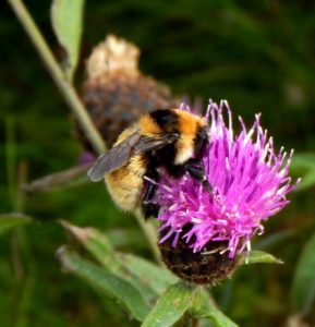Great yellow bumblebee queen, Tiree